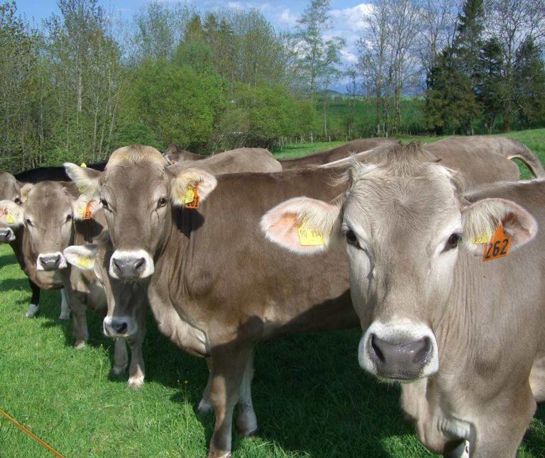Braunvieh Kühe