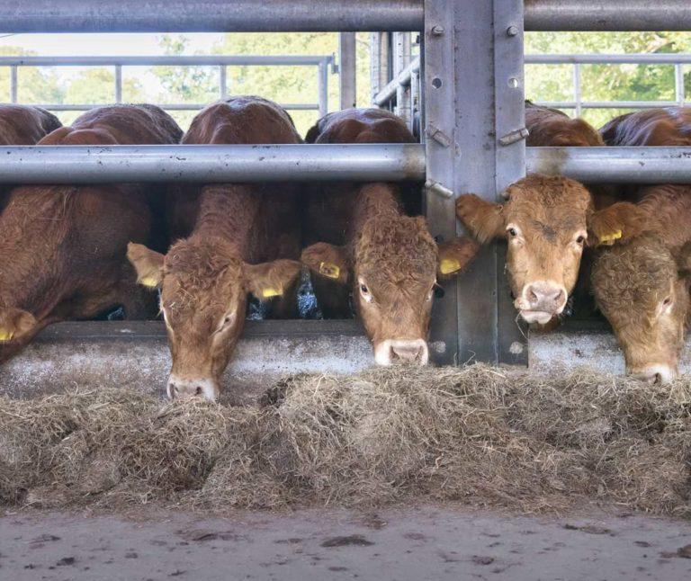 Limousin Kühe