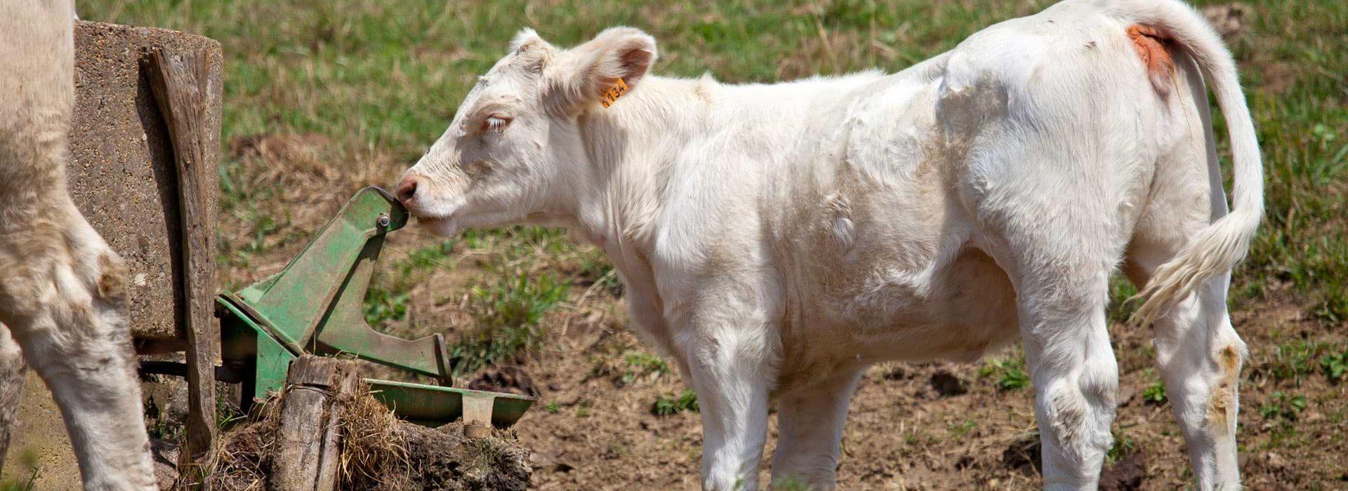 Zuchttiere zur Fleischproduktion